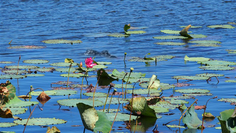 croc-lilly