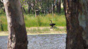 nesting black swan