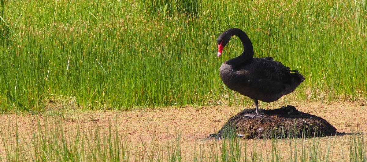Nesting Wild Australian Black Swans